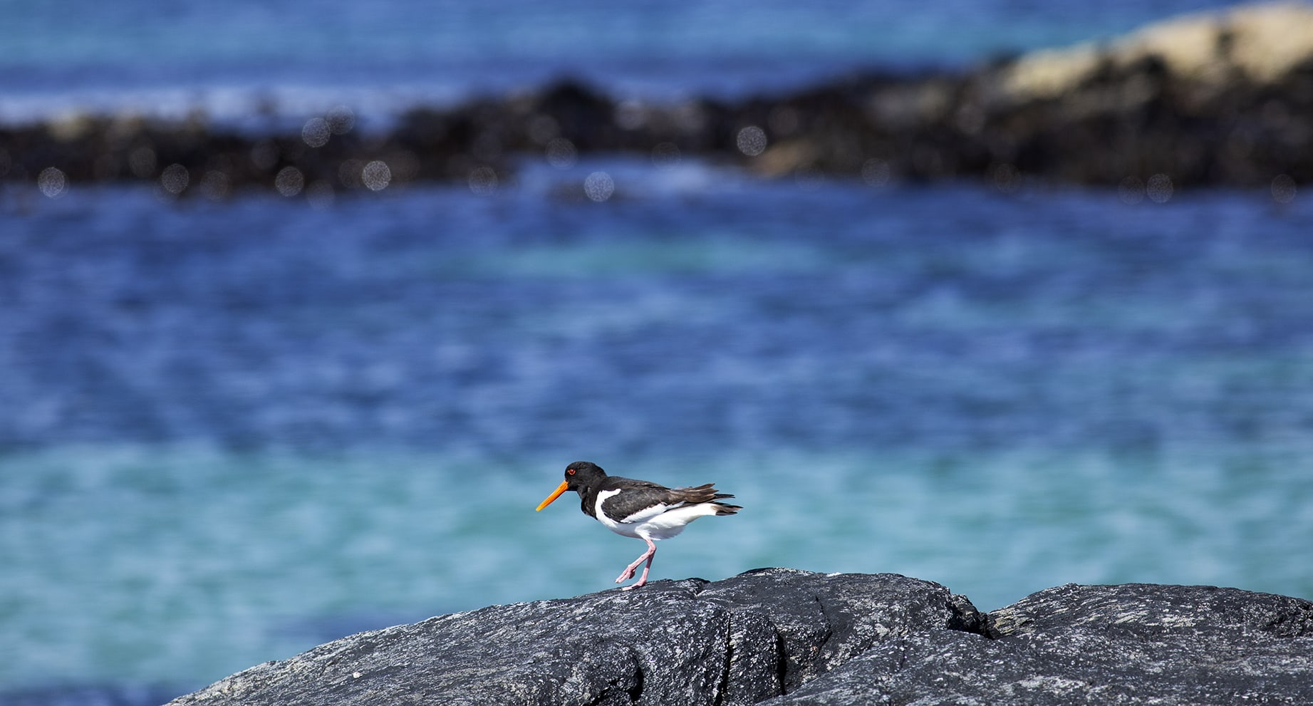 Oystercatcher, photographed by Jade Starmore