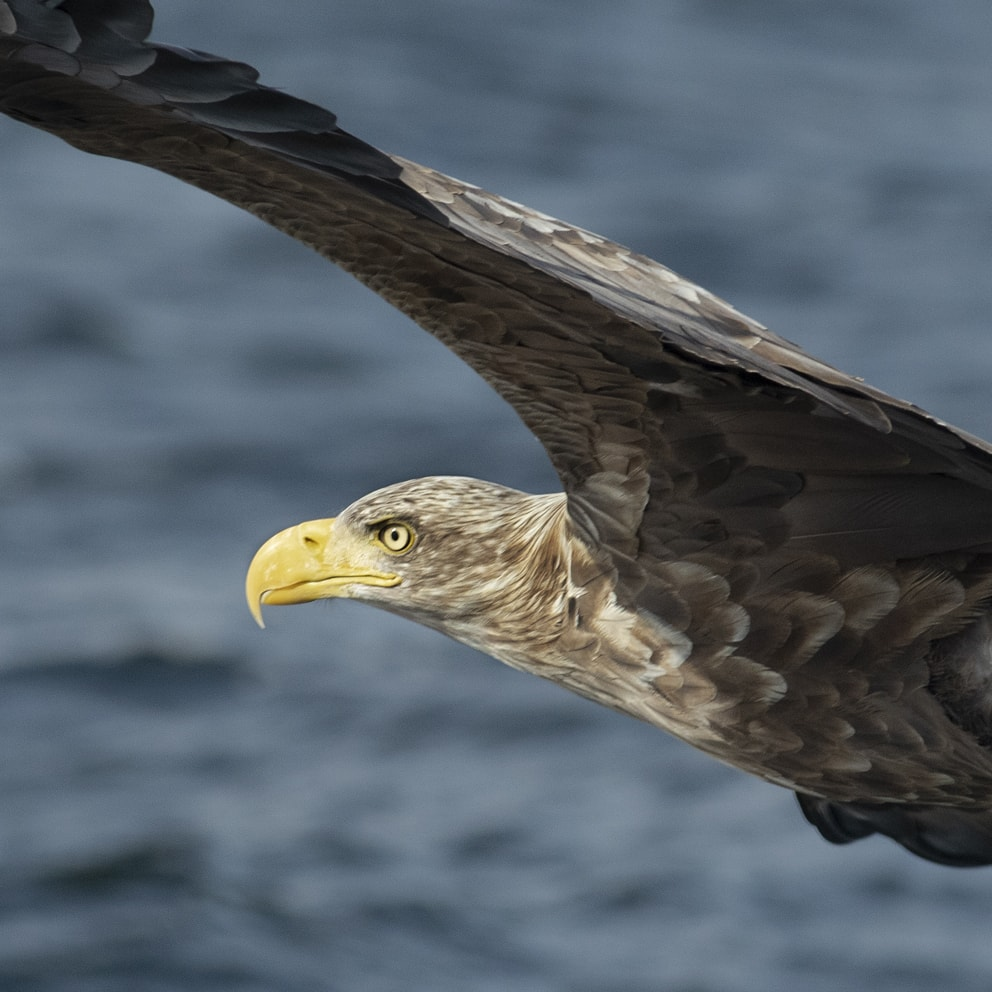 Sea Eagle, photographed by Jade Starmore
