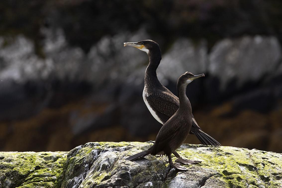 Hebridean Birdlife, photographed by Jade Starmore