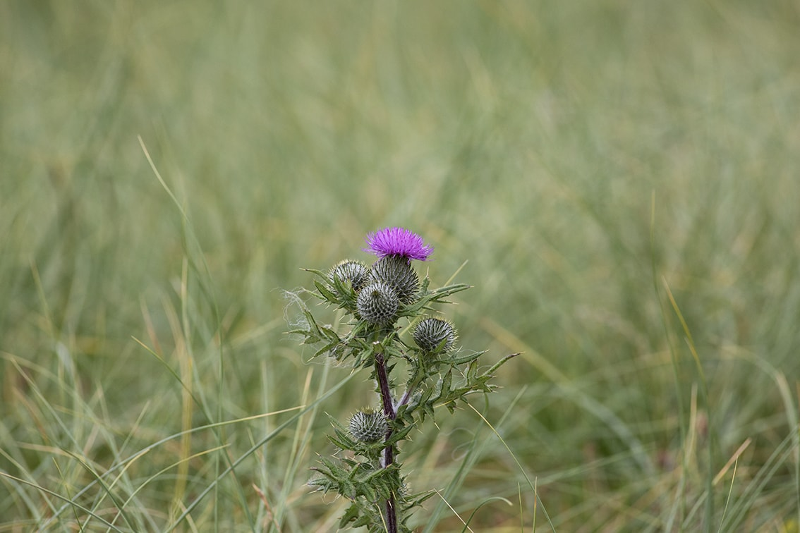 Thistle, photographed by Jade Starmore